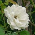 秋の白薔薇