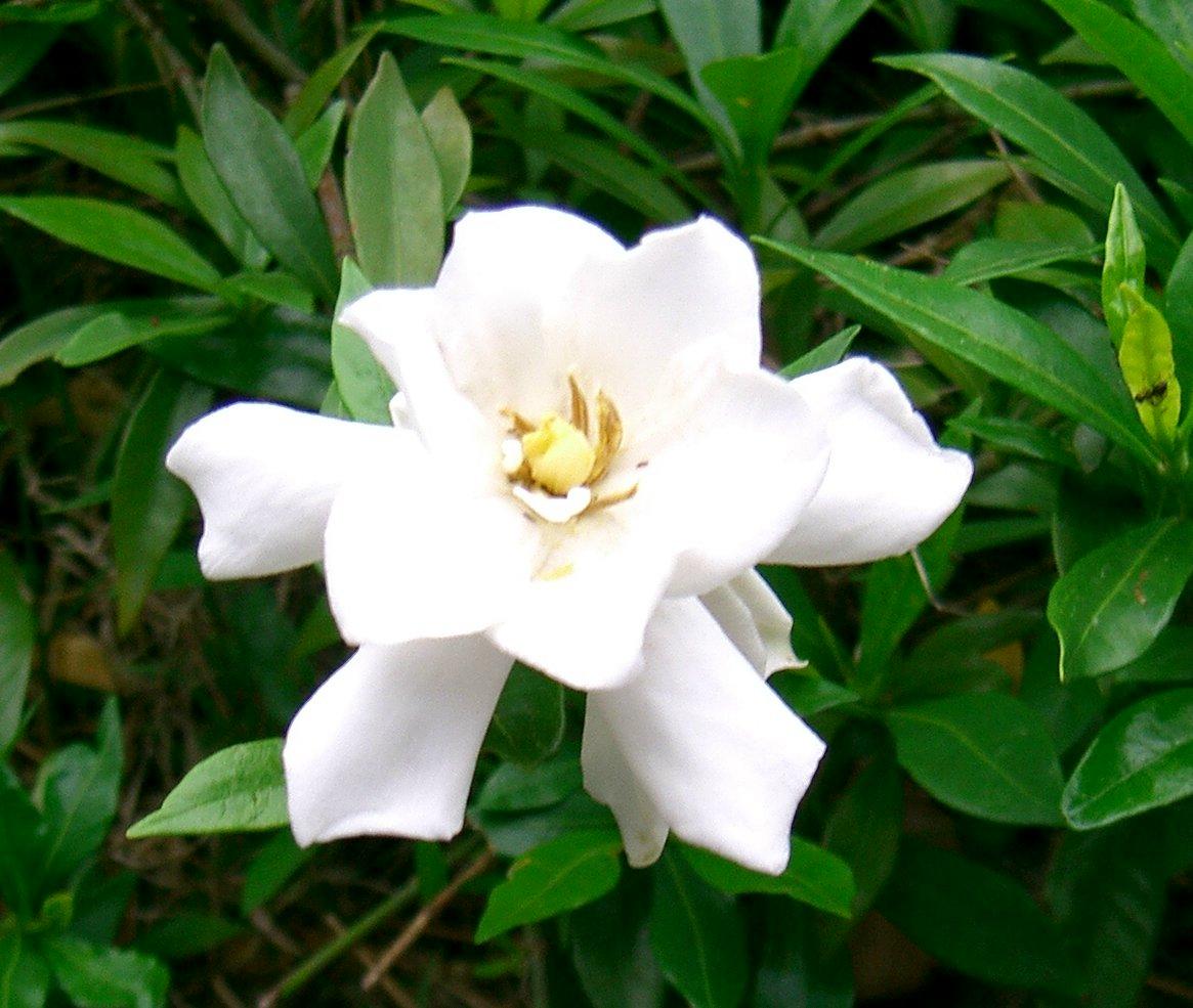 くちなしの花~八重咲き~