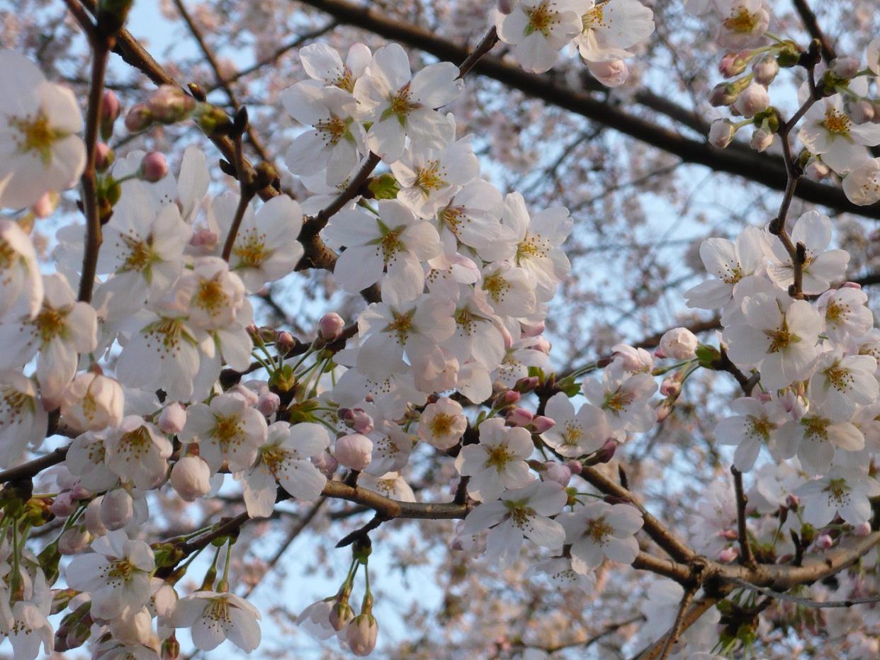 黄昏時の桜
